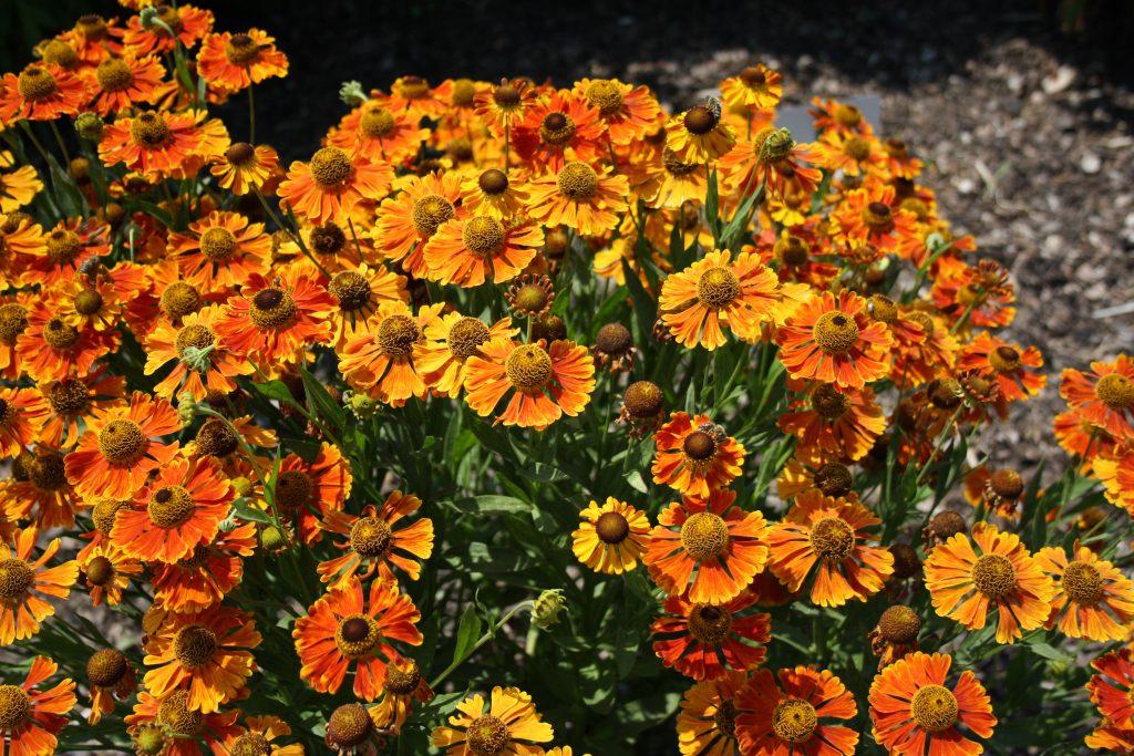 Sonnenbraut (Helenium) - Die schönsten Dauerblüher für einen farbenfrohen Sommergarten
