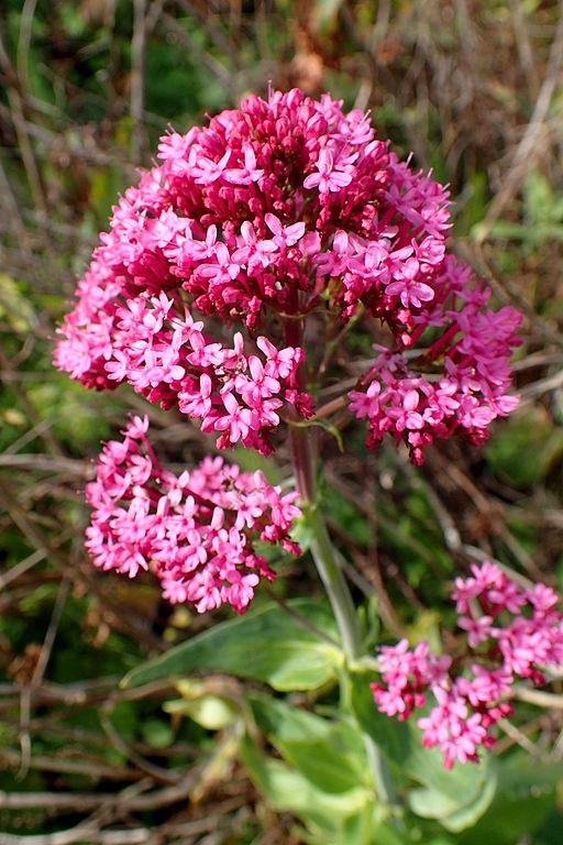Spornblume - Die schönsten Dauerblüher für einen farbenfrohen Sommergarten