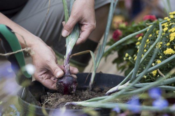 Urban Gardening Zwiebel im Topf copyright hoponopo