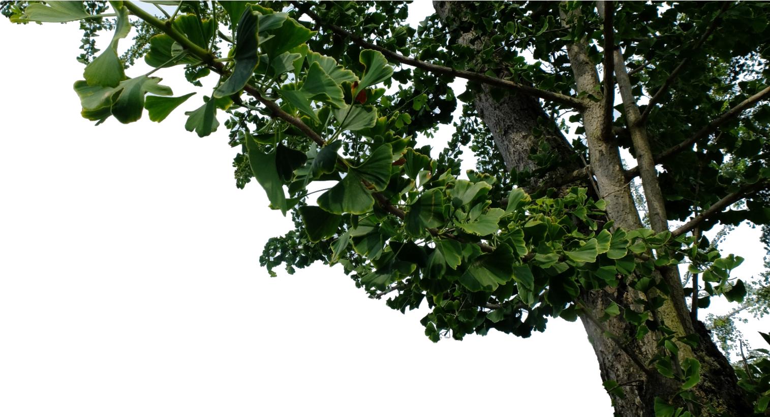 Ginkgoboom