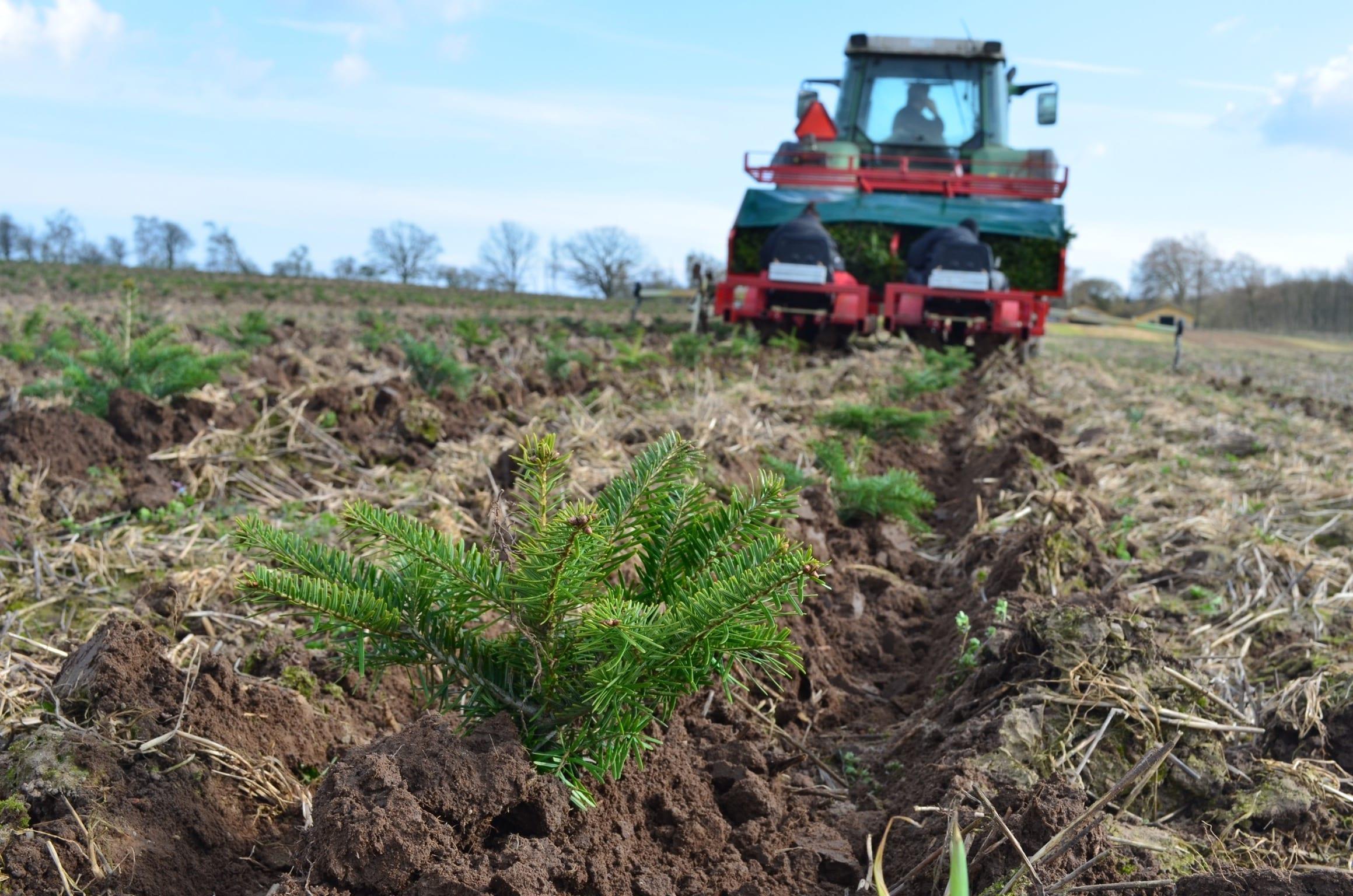 Salg af juletræer