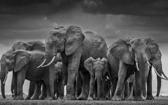 Elefanti, David Yarrow