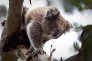 koala eucalypt