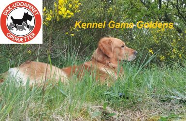 Kennel Game Goldens