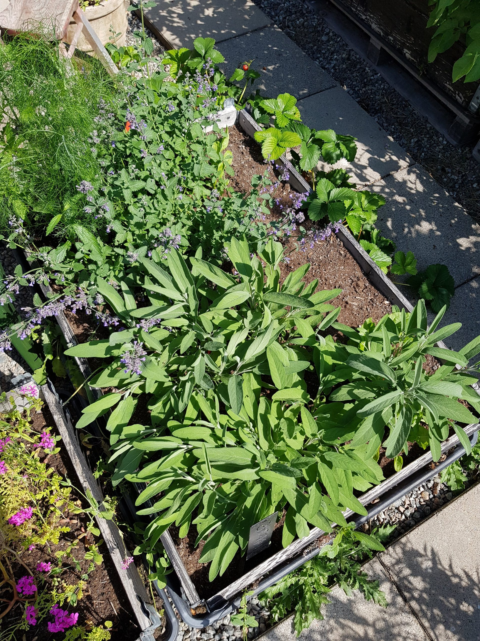 Salvia är bra vid förkylning med hosta