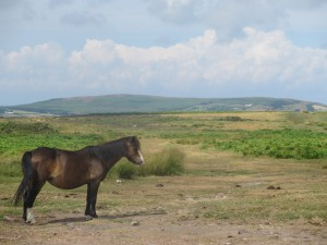 Pony at Cefy Bryn - Gower Peninsula