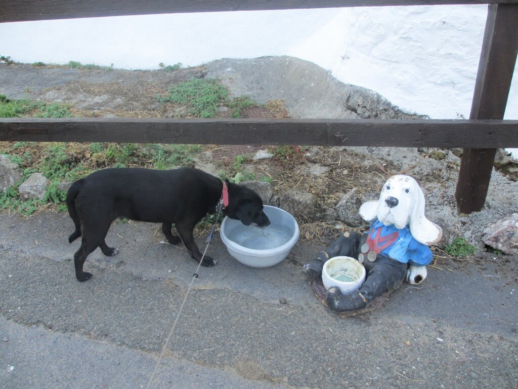 Rush our dog having a drink left out at Cwm Ivy