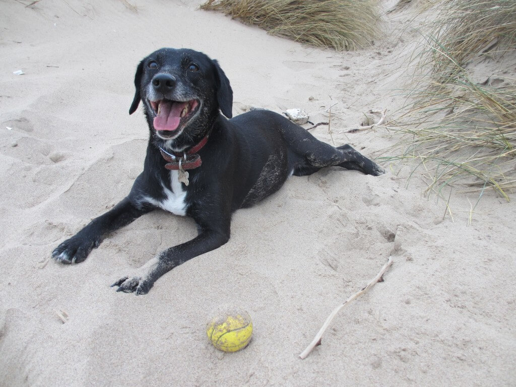 Rush the dog with a ball on the sand at Rhossili Gower