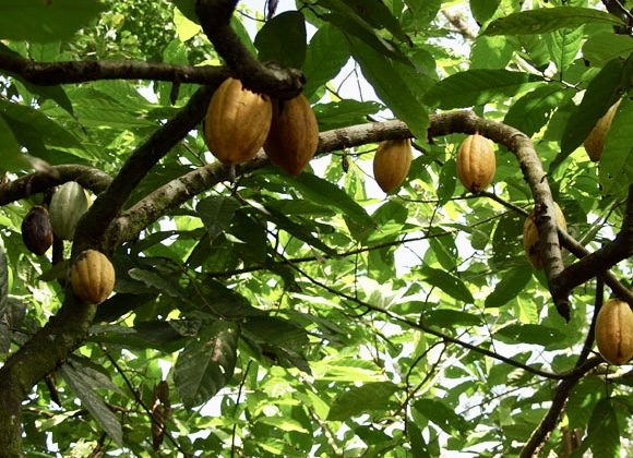 Tetteh Quarshie Cocoa Farm-grassroottours.com