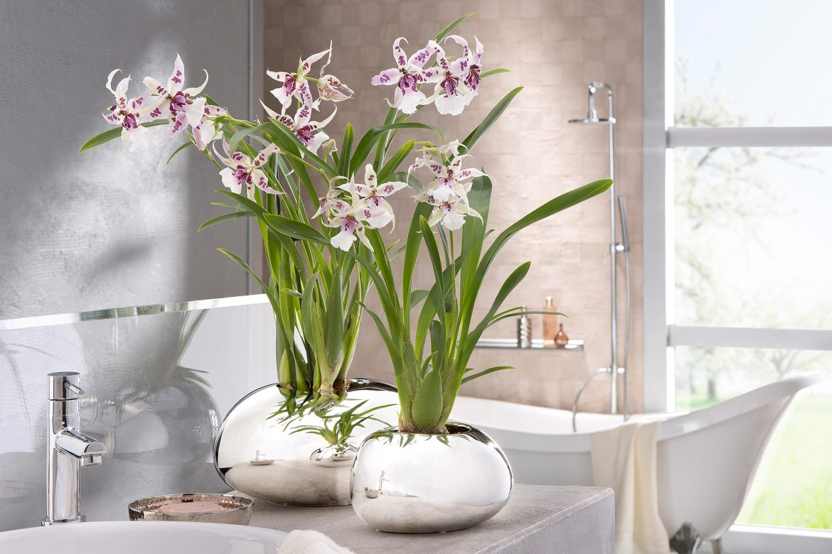 Mirror Silver: Glänzender Auftritt für Orchideen