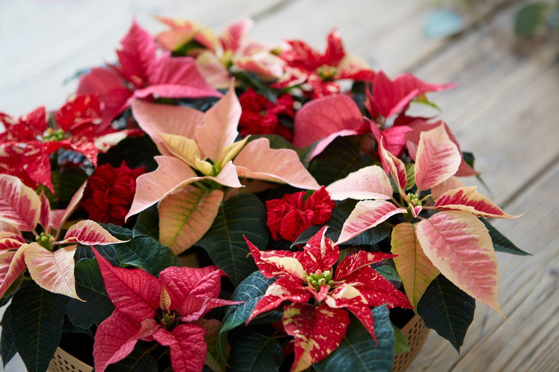 Weihnachtsstern - Farbwunder für graue Herbst- und Wintertage