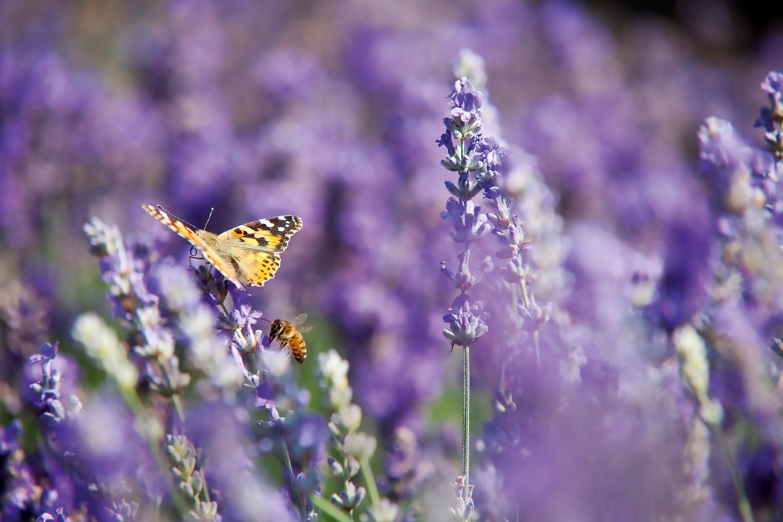 Lavendelrezepte für Körper und Seele