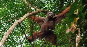 Orang-Utan im Regenwald von Borneo