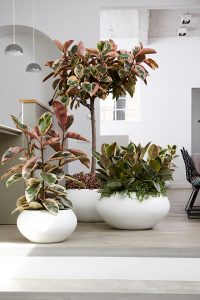 Der Ficus macht in weißen, runden Töpfen eine besonders gute Figur