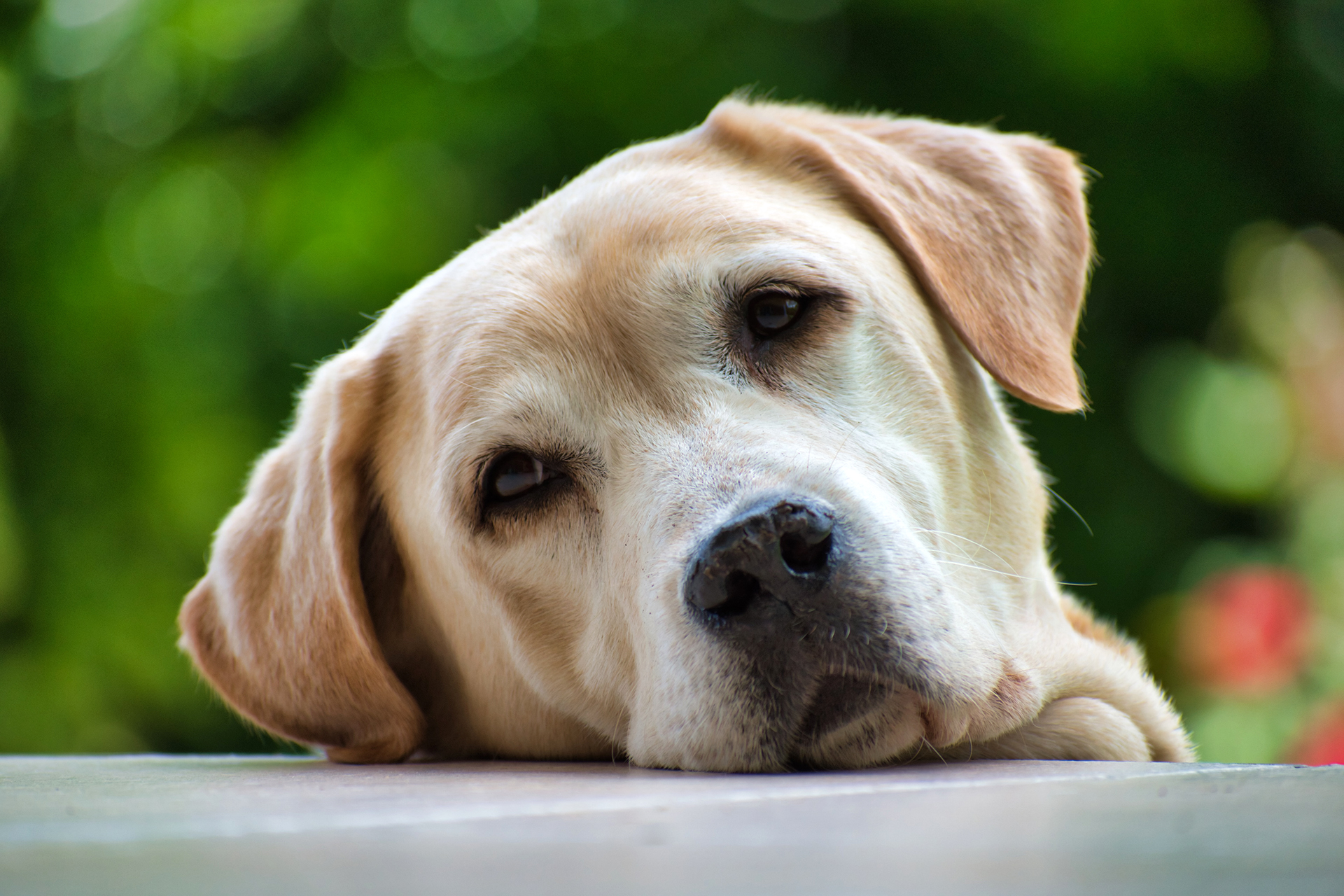 Gerade bei eher »verfressenen« Hunderassen solltest du auf die Symptome von Diabetes achten