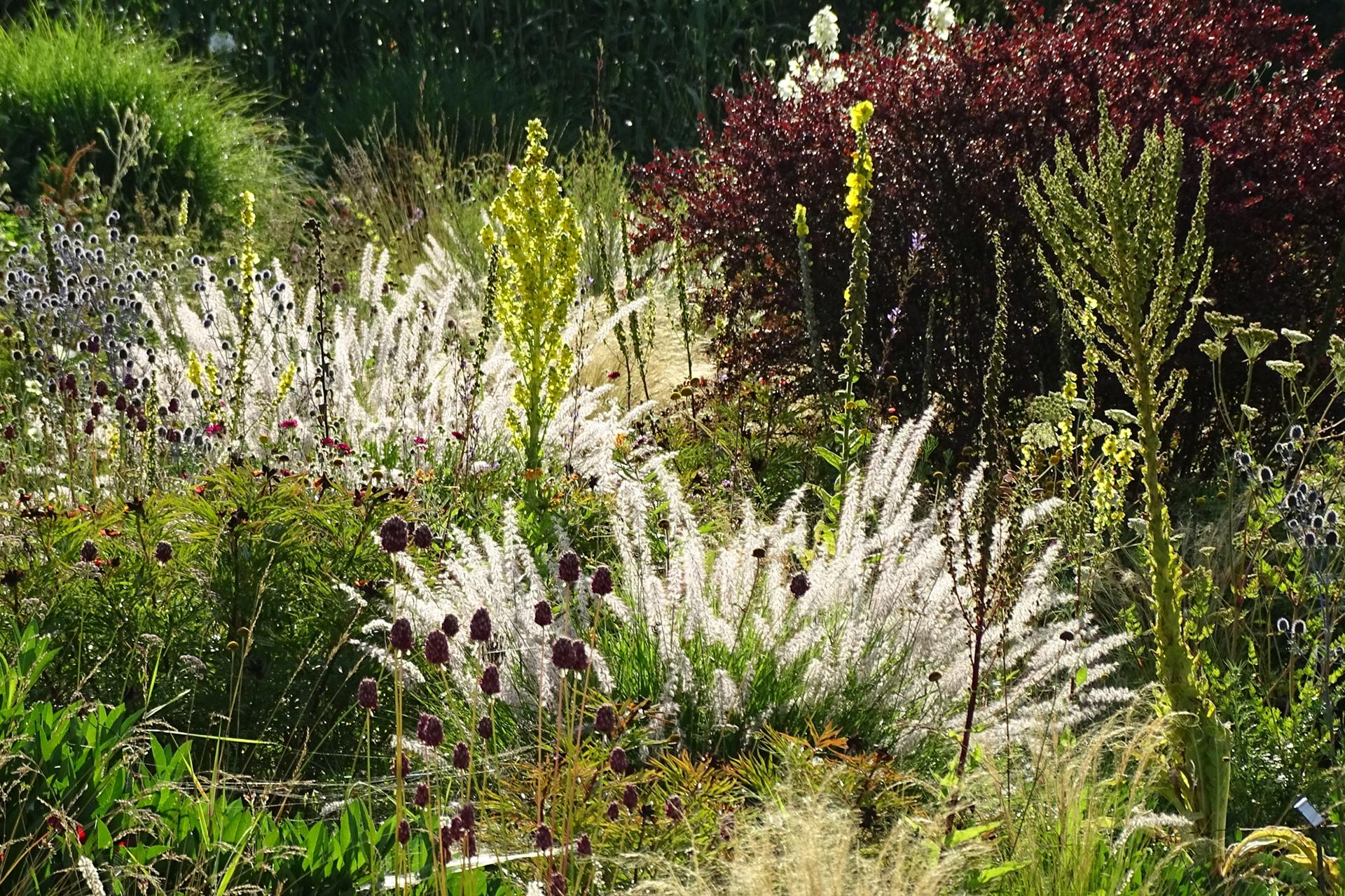 Den Sommer im Herzen: Viele hitze- und trockenheitsverträgliche Arten wie Königskerzen (Verbascum) und das Östliche Wimper-Perlgras (Melica ciliata) blühen spät, bieten dafür aber auch im Herbst und Winter attraktive Silhouetten.