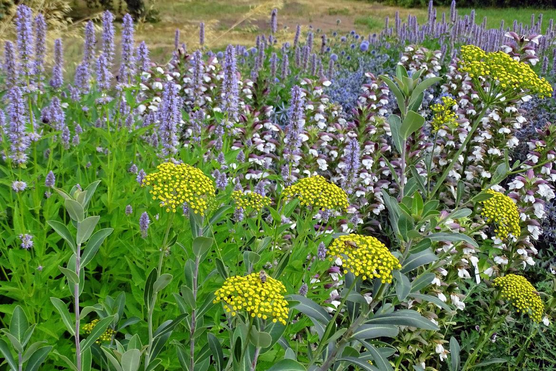 Gartengestaltung im Klimawandel – Unerschütterlich: Duftnesseln (Agastache), Bärenklau (Acanthus) und Strauchiges Hasenohr (Bupleurum fruticosum) halten Hitze und Trockenheit gut aus. Das freut Insekten und Menschen gleichermaßen!
