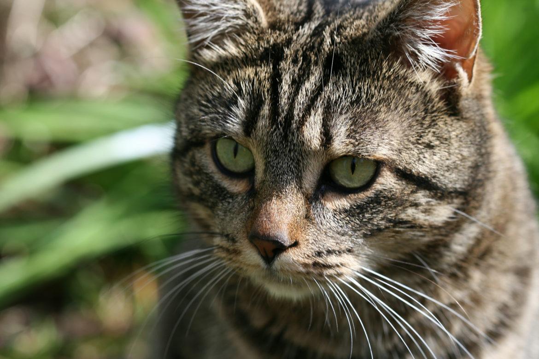 Klein und gemein: Hautpilze bei Katzen