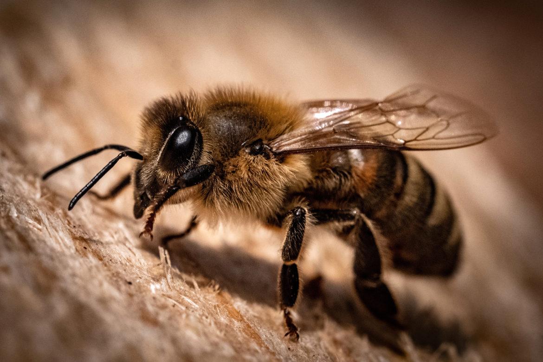 Ohne Bienen stirbt die Natur