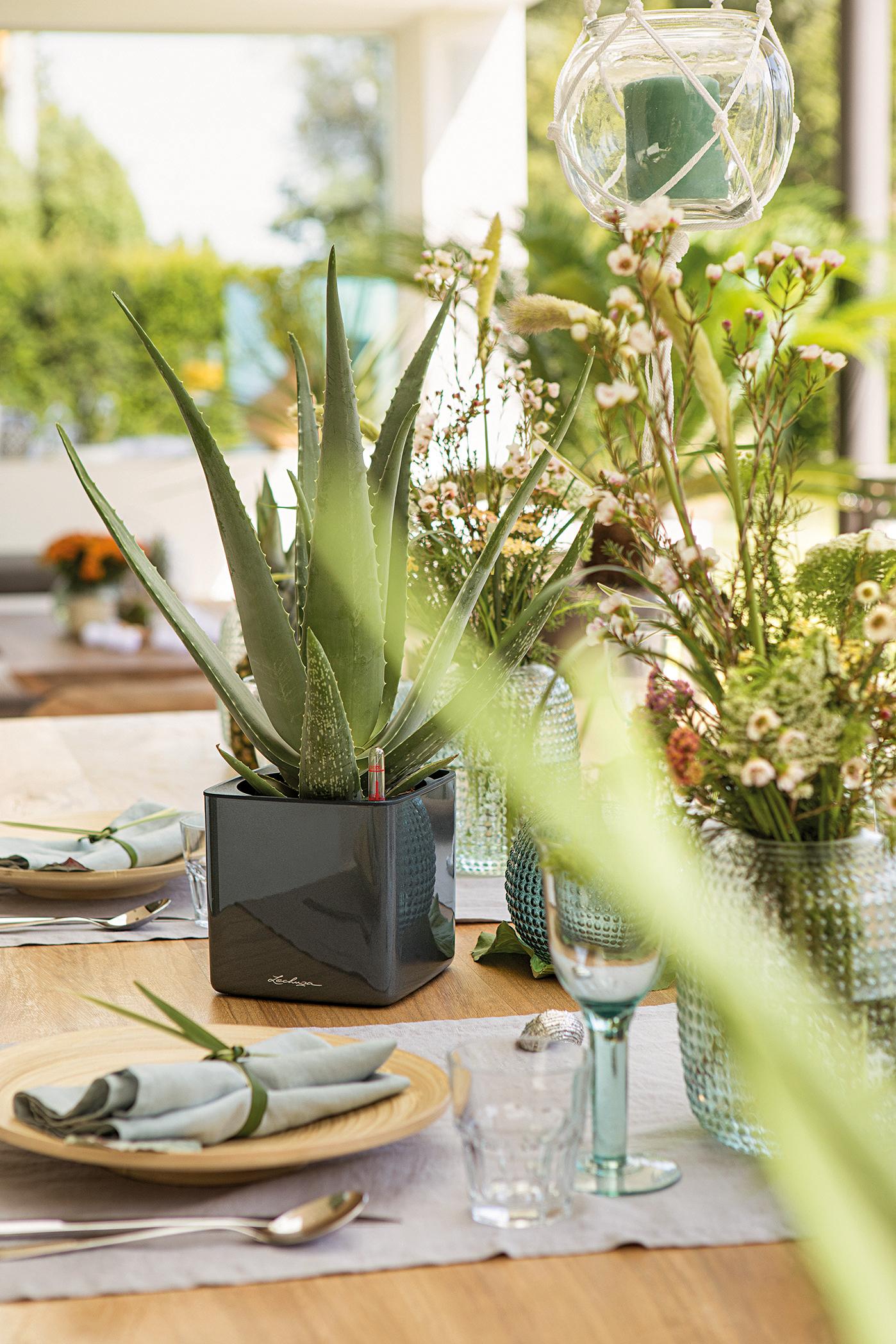 Aloe Vera als lebende Tischdekoration