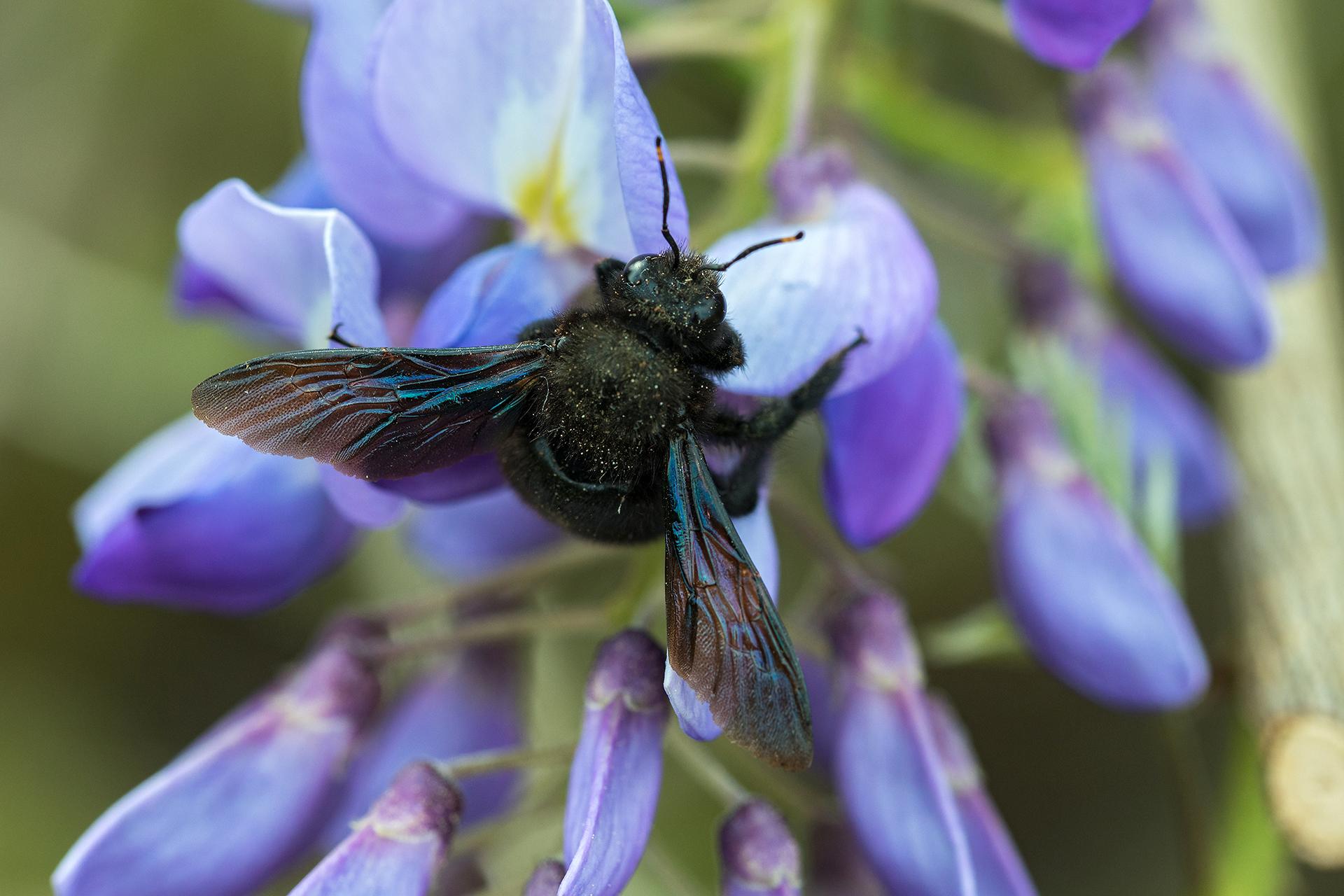 Die Blaue Holzbiene profitiert als eine der wenigen vom Klimawandel ...
