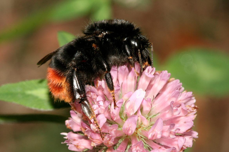 NABU Insektensommer – Steinhummel auf Platz eins