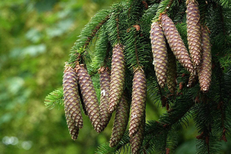 Waldmedizin – Die Heilkraft der ätherischen Baumöle