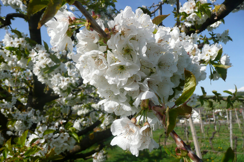 Die schönsten Blütenwanderungen im Schwarzwald