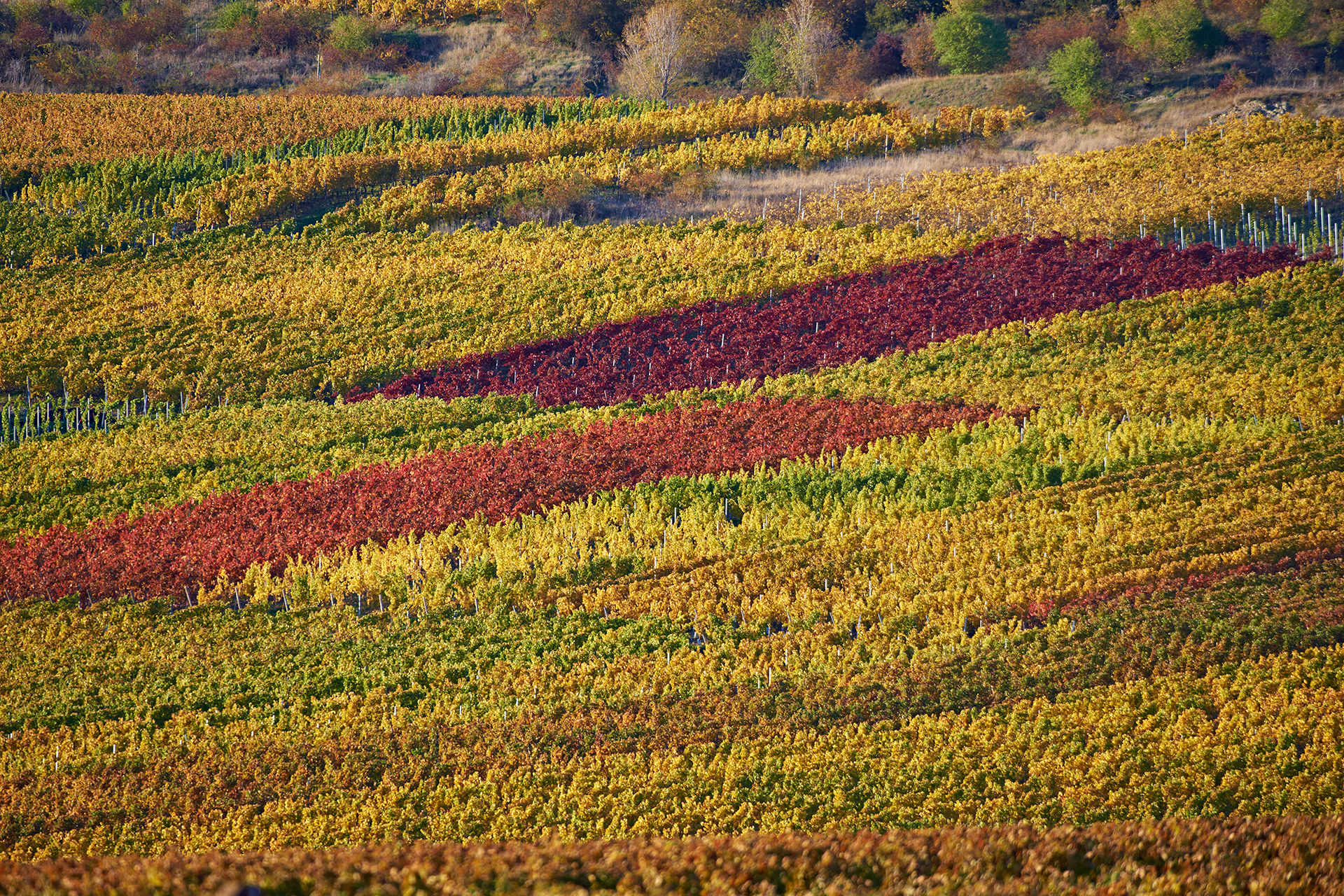 Blick auf die Weinberge im Herbst