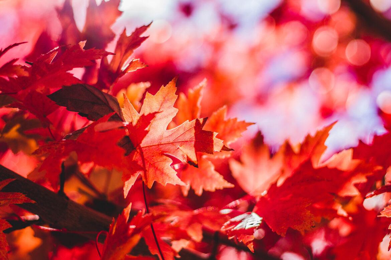 Herbstblätter »Indian Summer«