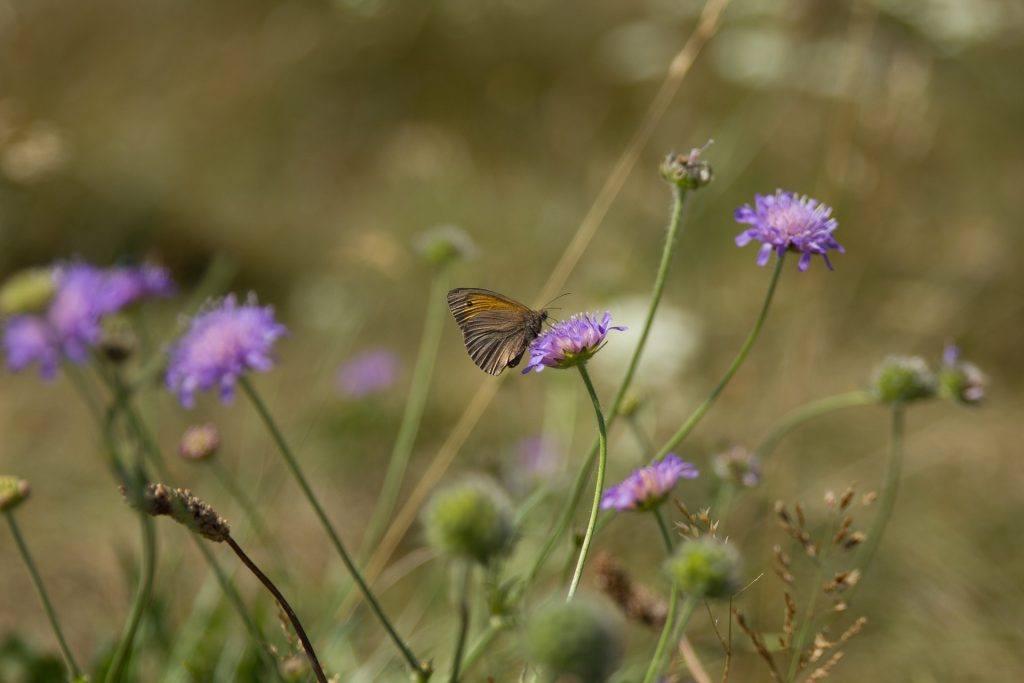 sommerfulg natur