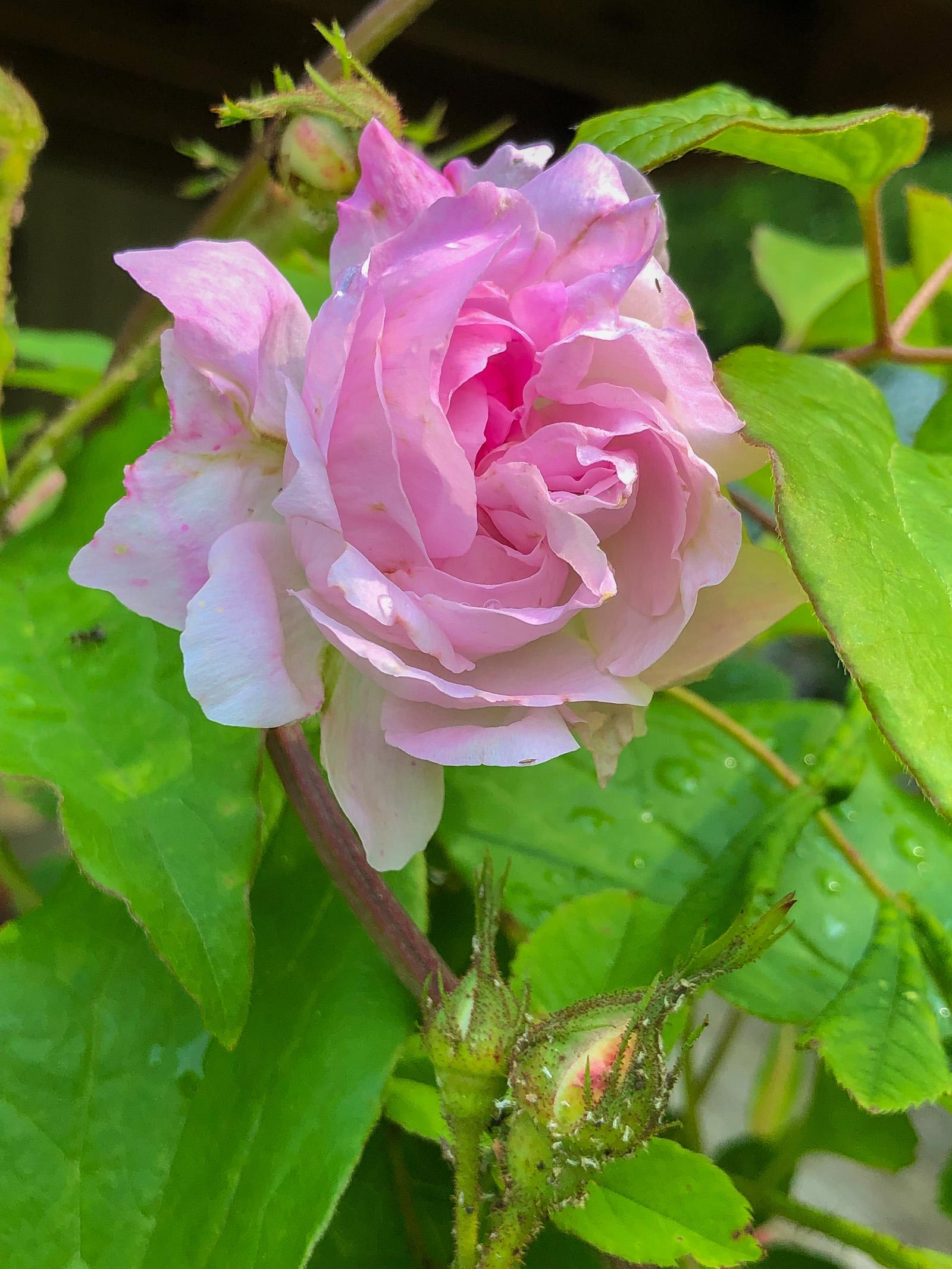 Gullbergs rosa ros