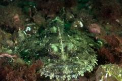Angler fish - Lophius piscatorius