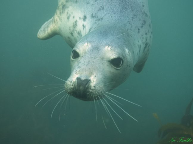 Grey Seal - Farne Islands