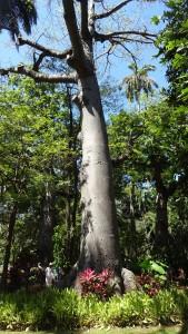 Ceiba im botanischen Garten