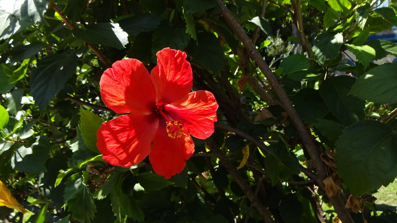 rote Hibiskusblüte