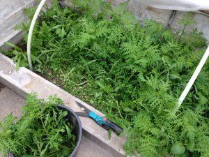 grøngødning i drivhuset