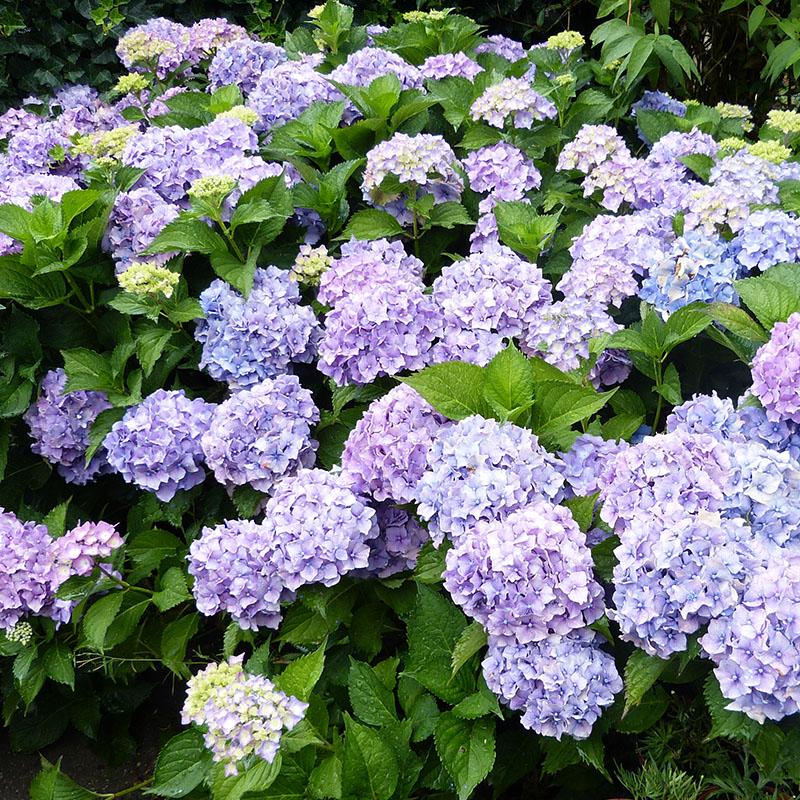 Hortensia smukke lilla blomster