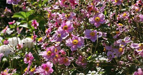 I maj skal stauderne i haven have støtte