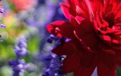 Blomsterløg og knolde