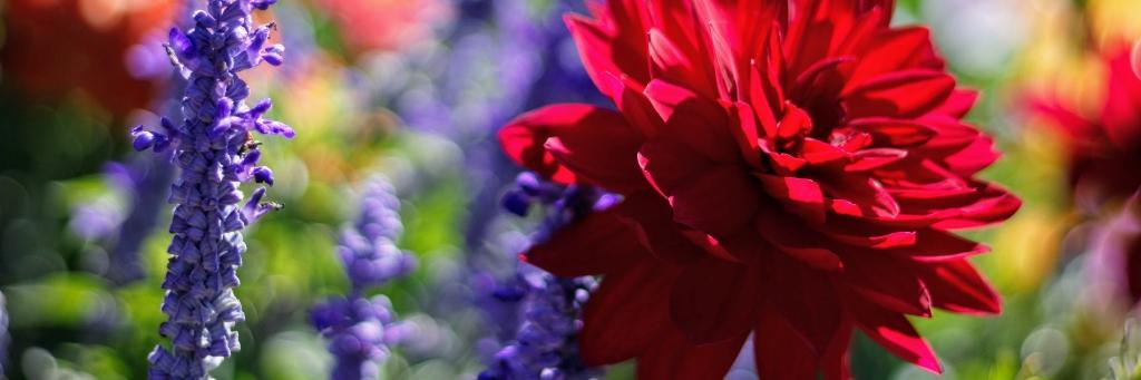 blomsterløg og knolde - blomsterkalender