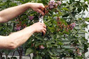 Beskæring af blomster i maj måned