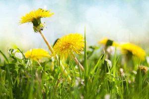Fjern mælkebøtter i græsplænen i maj måned