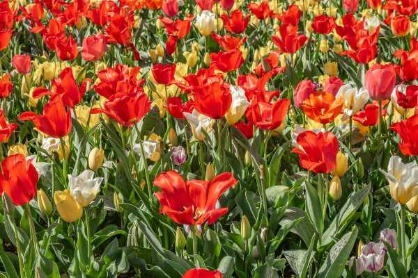 tulipaner i haven om foråret