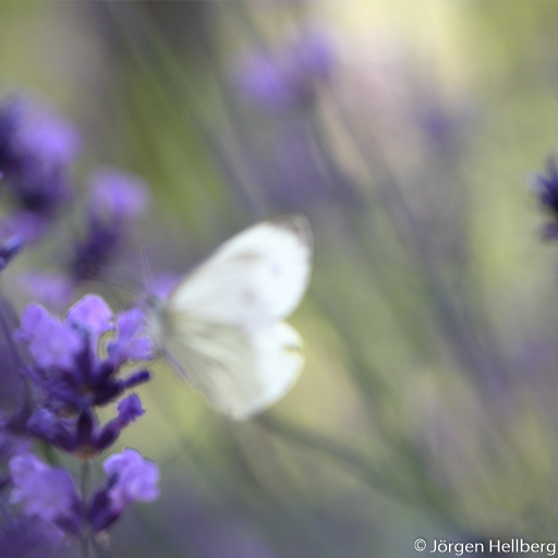 Butterfly and lavender, photo Jörgen Hellberg