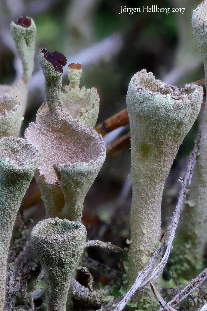 Cladonia (cup lichen)