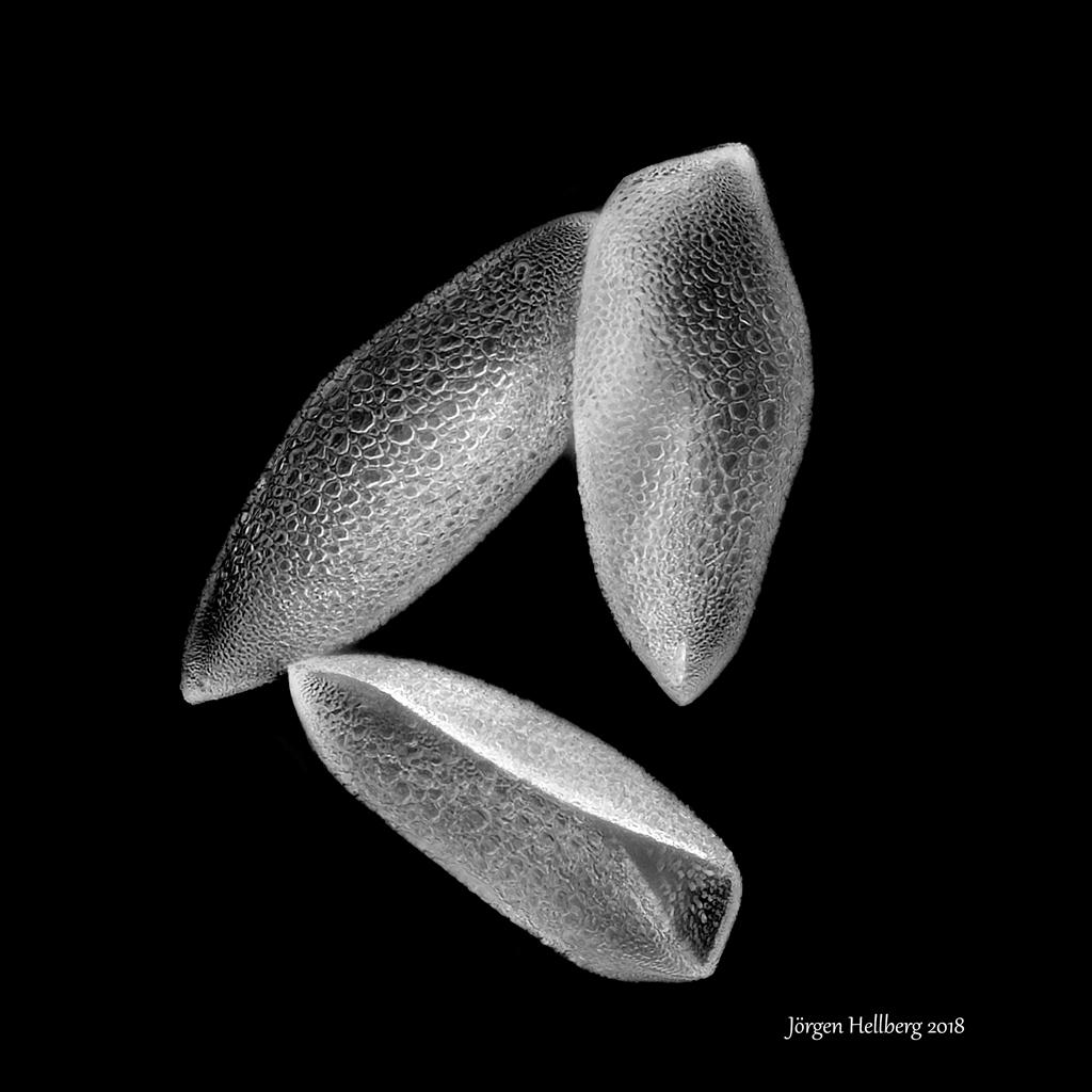 Hippeastrum flower pollen