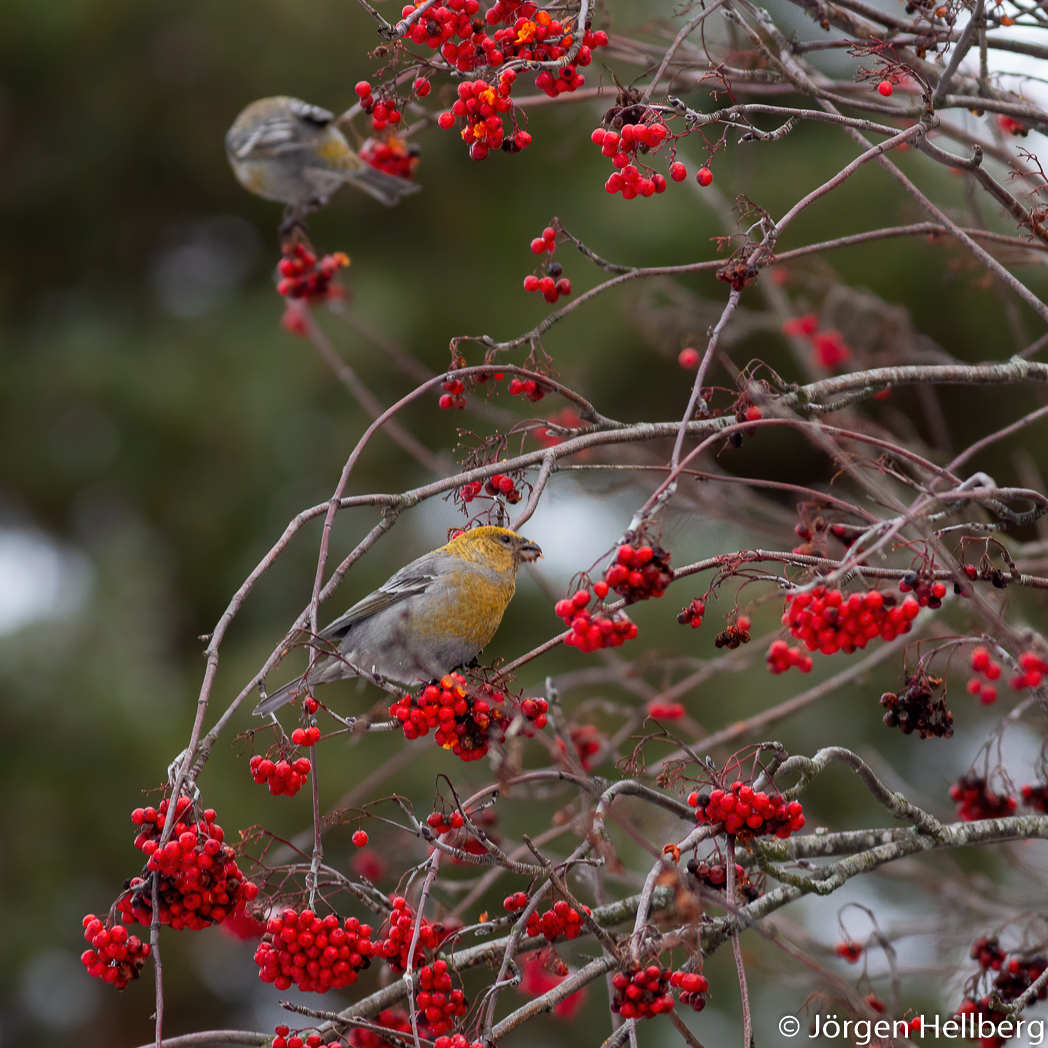 Female Pine grosbeak (Pinicola enucleator), Tallbit, photo Jörgen Hellberg