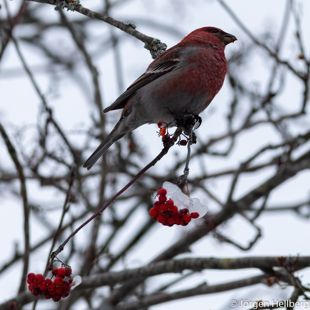 Male Pine grosbeak (Pinicola enucleator), Tallbit, photo Jörgen Hellberg