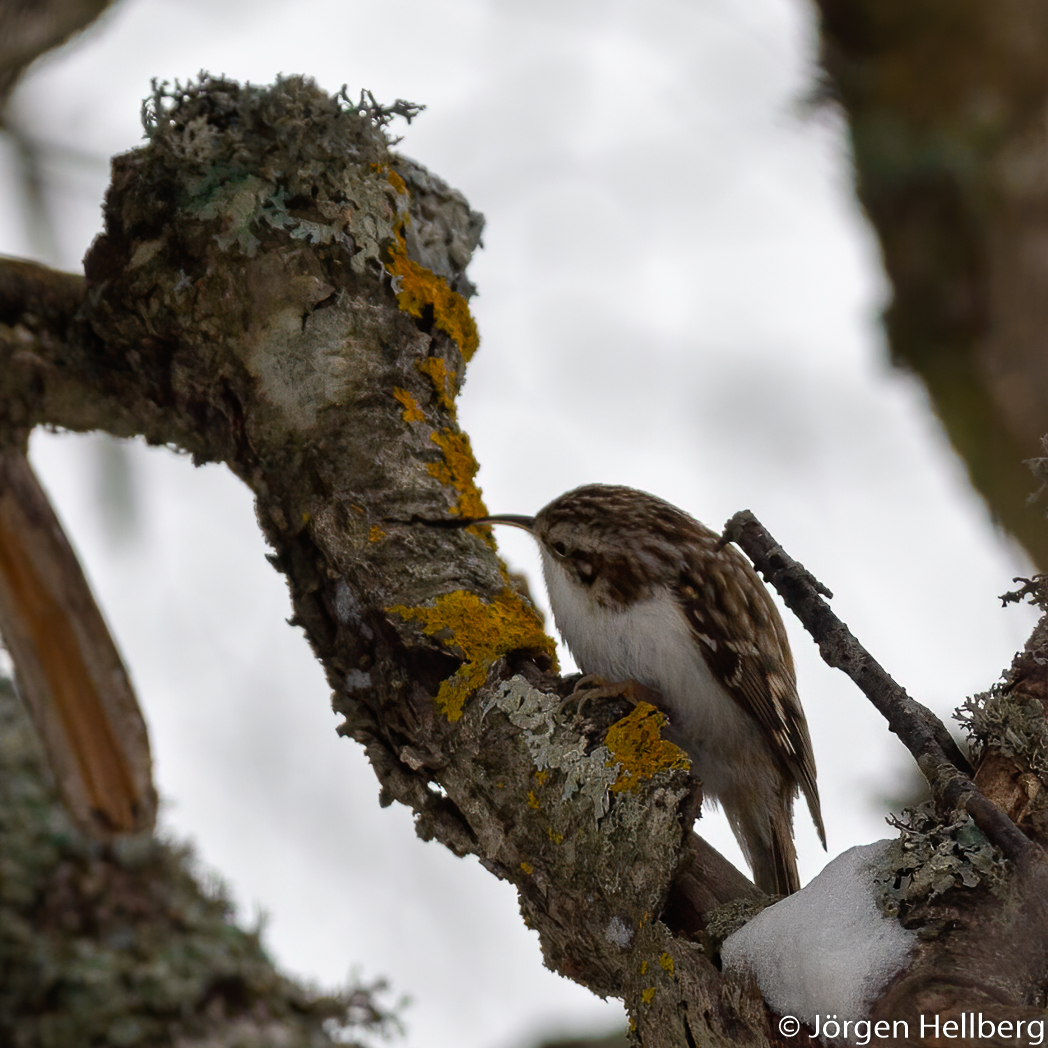 Tree creeper (Certhia familiaris), trädkrypare